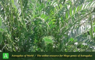 Astragalus heterophyllus