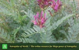 Astragalus holopsilus 2