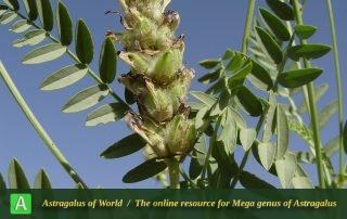 Astragalus holopsilus 3 - Photo by Mozaffarian