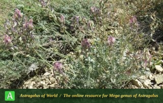 Astragalus homandicus 2 - Photo by Maassoumi