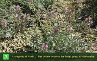 Astragalus homandicus - Photo by Maassoumi