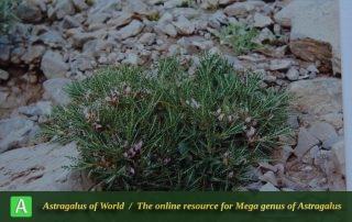 Astragalus horridus 2 - Photo by Maassoumi