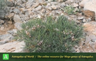 Astragalus horridus 3 - Photo by Maassoumi