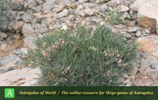 Astragalus horridus - Photo by Maassoumi