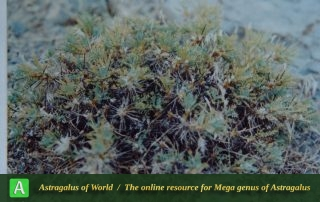 Astragalus hypsogeton
