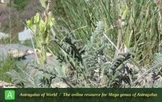 Astragalus iranicus 2 - Photo by Maassoumi