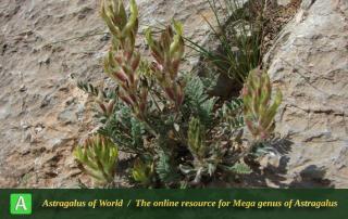 Astragalus iranicus 4 - Photo by Batooli