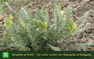 Astragalus iranicus 5 - Photo by Bidar