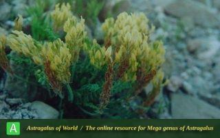 Astragalus iranicus - Photo by Maassoumi