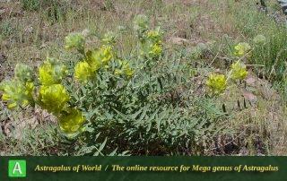 Astragalus jessenii 2 - Taleghan