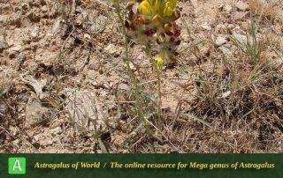 Astragalus-jessenii-5-Photo-by-Eftekhar