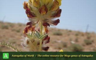 Astragalus-jessenii-6-Photo-by-Eftekhar