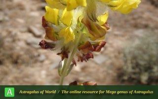 Astragalus-jessenii-7-Photo-by-Eftekhar