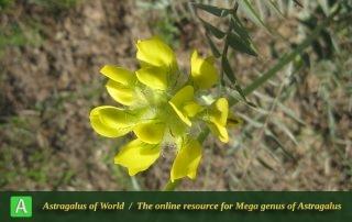 Astragalus jessenii 8 - Photo by Bagheri