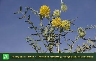Astragalus-jessenii-Photo-by-Mozaffarian