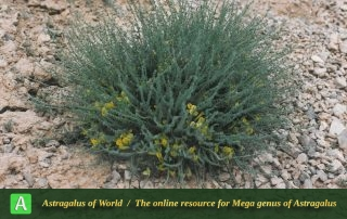 Astragalus johannis - Photo by Maassoumi