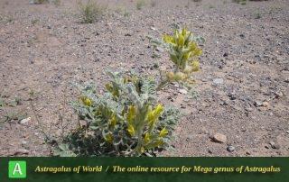 Astragalus kahiricus 2 - Photo by Tavakoli