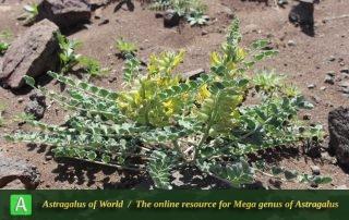 Astragalus kahiricus 3 - Photo by Taheria