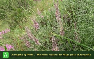 Astragalus karl-heinzii 2 - Photo by Bidar