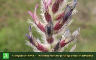 Astragalus karl-heinzii 4 - Photo by Bidar