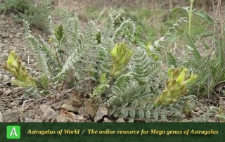 Astragalus khajiboulaghensis 3 - Photo by Bidar
