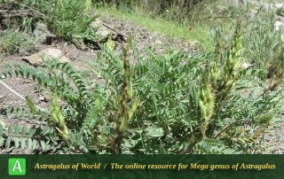 Astragalus khajiboulaghensis - Photo by Bidar