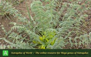 Astragalus kirpicznikovii 3 - Photo by Bidar