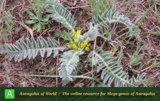 Astragalus kirpicznokovii 4