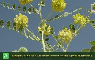 Astragalus kirrindicus 2 -Photo by Mozaffarian