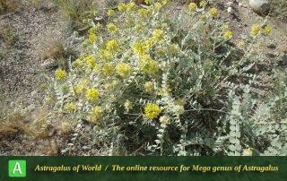 Astragalus kirrindicus 3 - Photo by Tavakoli