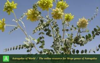 Astragalus kirrindicus - Photo by Mozaffarian