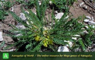 Astragalus kopetdaghi var orientikopetdaghensis - Photo by Joharchi