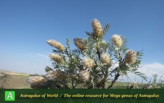 Astragalus lagopoides 2
