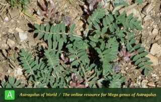 Astragalus laristanicus - Photo by Tajjaddin