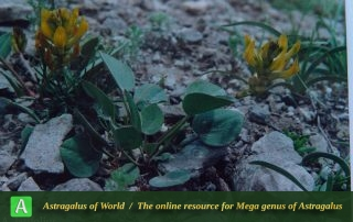 Astragalus latifolius - Photo by Maassoumi