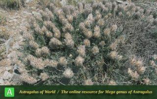 Astragalus leptynticus 2 - Photo by Maassoumi