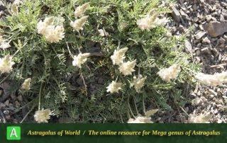 Astragalus leptynticus 3 - Photo by Mozaffarian