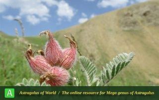 Astragalus lineatus 2