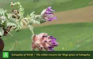 Astragalus lineatus 3 - Photo by Bidar