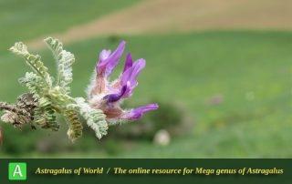 Astragalus lineatus 4 - Photo by Bidar