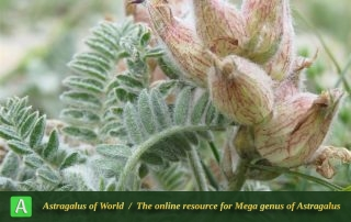 Astragalus lineatus 5 - Photo by Bidar