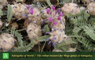 Astragalus lineatus 6 - Photo by Eftekhar