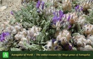 Astragalus lineatus 8 - Photo by Mozaffarian