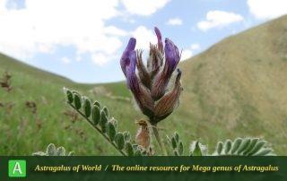 Astragalus lineatus - Photo by Bidar