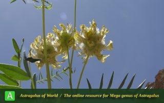 Astragalus macrocephalus subsp. macrocephalus - Photo by Mozaffarian