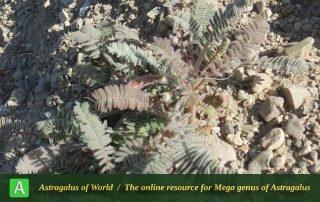 Astragalus macropelmatus 2 - Photo by Maassoumi