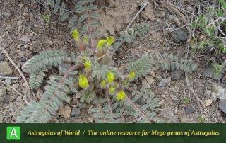 Astragalus macropelmatus - Photo by Joharchi