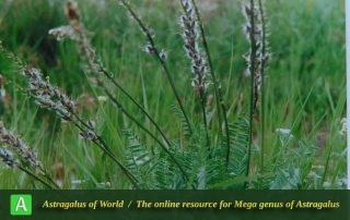 Astragalus macrourus - Photo by Maassoumi