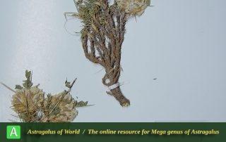 Astragalus magnibracteatus - Hol