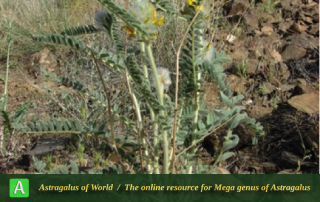 Astragalus megalotropis - Photo by Batooli